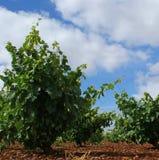 Closeupen av vinranka-materielet i vingården med blå himmel och vit fördunklar arkivfoton
