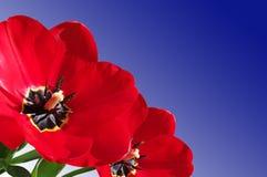 closeupen blommar den röda tulpan Arkivfoto
