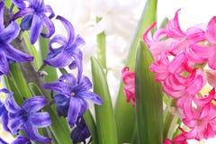 closeupen blommar hyacintet Royaltyfria Bilder