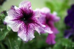 closeupen blommar petuniaen royaltyfria bilder