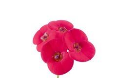 Den röda blomman och isolerat hänger lös rundan Arkivbilder