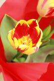 Färgrik tulpan Royaltyfria Bilder