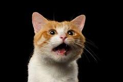 Closeupen förvånade Ginger Cat med den öppnade munnen på svart royaltyfri fotografi