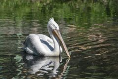 Closeupen för den vita pelikan svävar på vatten Arkivfoto