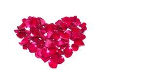 Closeupen isolerade den röda rosen för bakgrunder på vita bakgrunder Royaltyfri Fotografi
