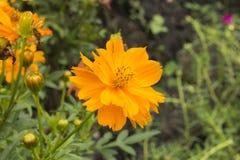 Closeupen kosmos blommar orange ljusa färger i gradenen royaltyfria foton
