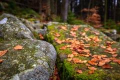 Closeupen på höstskog med vaggar mycket av mossa och färgrika stupade sidor på jordningen royaltyfri fotografi