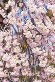 Closeupen sakura är blommande, Japan Fotografering för Bildbyråer