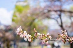 Closeupen sakura är blommande, Tokyo, Japan Royaltyfri Foto