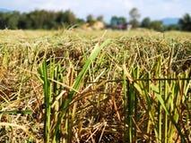 Closeupen skördade risfältfältet i Penampang, Sabah royaltyfri bild