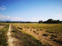 Closeupen skördade risfältfältet i Penampang, Sabah fotografering för bildbyråer