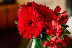 Closeupen sköt av en bukett av röda Barberton tusenskönor i ett hus fotografering för bildbyråer