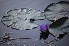 Closeupen sköt av en purpurfärgad näckros vid natt Royaltyfri Foto