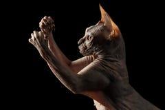 Closeupen skämtsamma Sphynx Cat Hunting Raising tafsar isolerat på svart Royaltyfri Bild