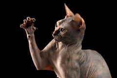 Closeupen skämtsamma Sphynx Cat Hunting Raising tafsar isolerat på svart Royaltyfria Foton