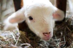 Closeupen som skjutas av en nyfödd vit, behandla som ett barn geten som ser upp på kameran fotografering för bildbyråer