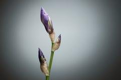 Closeupen stängde irisblommaknoppar på den gröna stammen mot grå backg Royaltyfri Bild