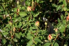 Closeupen steg blommor på träd, söta förälskelsebegrepp, romanska begrepp, makrobilder Royaltyfri Foto