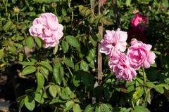 Closeupen steg blommor på träd, söta förälskelsebegrepp, romanska begrepp, makrobilder Royaltyfria Bilder