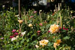 Closeupen steg blommor på träd, söta förälskelsebegrepp, romanska begrepp, makrobilder Arkivfoton