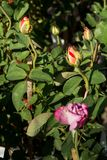 Closeupen steg blommor på träd, söta förälskelsebegrepp, romanska begrepp, makrobilder Royaltyfri Fotografi