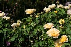 Closeupen steg blommor på träd, söta förälskelsebegrepp, romanska begrepp, makrobilder Fotografering för Bildbyråer