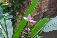 Closeupen till rosa färger slår ut eller blomstrar från Musa Gracilis Holttum Banana Tree/Musaceae Royaltyfria Foton