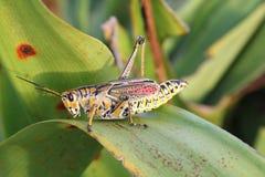 closeupfärggräshoppa Fotografering för Bildbyråer