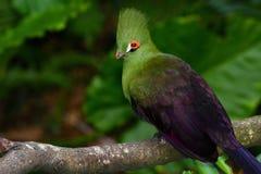 Closeupfågelfoto av en grön Guinea turaco eller Tauraco persa Arkivbild