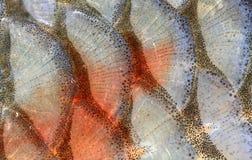 closeupfiskscales Royaltyfria Foton