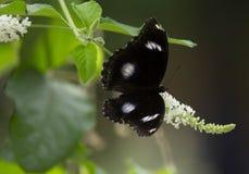 Closeupfjäril på blomma royaltyfria foton