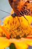 Closeupfjäril på blomma Arkivfoton