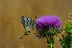 Closeupfjäril på blomma Fotografering för Bildbyråer