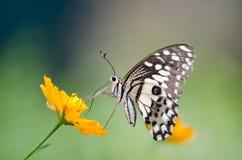 Closeupfjäril på blommor Royaltyfri Bild