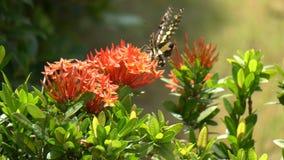 Closeupfjäril på den röda blomman i naturträdgård stock video
