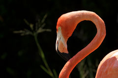 closeupflamingo royaltyfria foton
