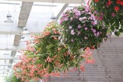 Closeupfoto av att hänga härliga blomma blommor fotografering för bildbyråer