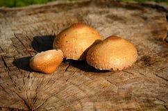 Closeupfoto av champinjoner på den klippta trädstammen Fotografering för Bildbyråer