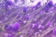 Closeupfoto av det härliga försiktiga lavendelblommafältet, abstrac Royaltyfria Bilder