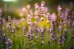 Closeupfoto av det härliga försiktiga lavendelblommafältet, abstrac Royaltyfri Fotografi