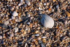 Closeupfoto av det stora skalet överst av säng av blandade mindre skal från en Florida strand Arkivbilder