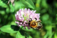 Closeupfoto av det växt av släktet Trifoliumblomman och biet arkivfoton