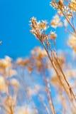 Torr weed i vinter Royaltyfri Fotografi