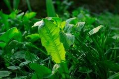 Closeupfoto av grönt maskrosgräs på våren eller sommar Panelljus genomskinliga gräsplaner royaltyfri bild