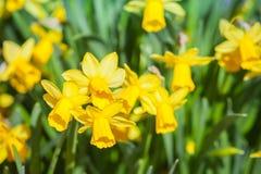 Closeupfoto av gula pingstliljablommor Royaltyfri Bild