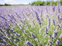 Closeupfoto av lavendelblommor med bin på det, i en sommartid arkivbilder