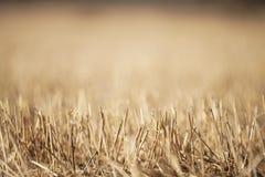 Closeupfoto av torra gras på lantligt fält i tidig vår Arkivfoto