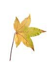 Closeupfotografi av det höstliga vissnande lönnträdet eller acerträdet Royaltyfri Foto