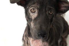 Closeupframsida av för spetälskahud för hund det sjuka problemet med den vita backgroen arkivfoto