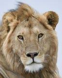 Closeupfrontview av ett lejonhuvud med ögon öppnar och skvallrar stängt Fotografering för Bildbyråer